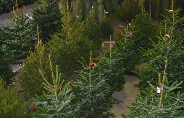 Kerstbomen Amstelveen De Mooiste Nordmann Excellent Spar