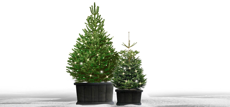 Nordmann kerstboom in kist met verlichting voor buiten bestellen in Amstelveen